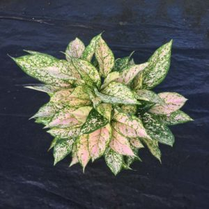 Etta Rose - Aglaonema