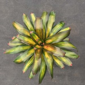 Gold Metal - Neoregelia