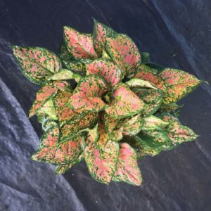 Red Valentine - Aglaonema