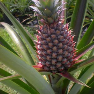 Bromeliad / Ananas